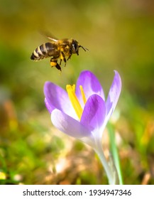 Macro of a bee flying to a purple crocus flower blossom