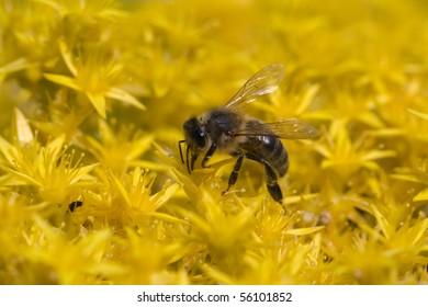 Macro bee harvesting nectar on small yellow flowers