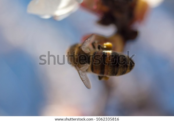 macro bee on apricot tree
