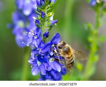 Makro einer Biene auf einer blauen Saga-Blüte