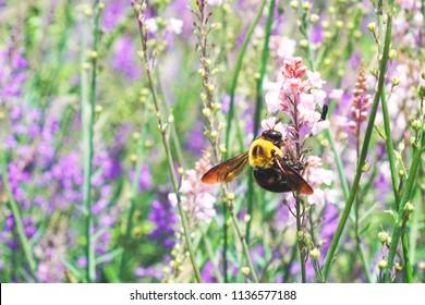 Macro big bee attaching on purple blue Hydrangea flowers and sucking nectar from pollen or carpel with blur background of hydrangea garden in summer season, Oishi park - Lake Fuji kawaguchiko, Japan