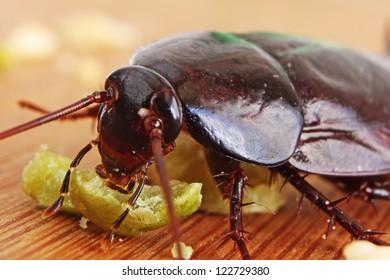 Macro of a Big Brown Cockroach eating crumbs