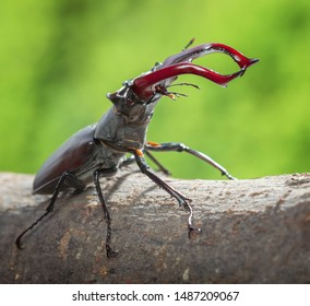 Macro of big stag beetle (Lucanus cervus), red  mandibles in attitude of combat, over green forest background