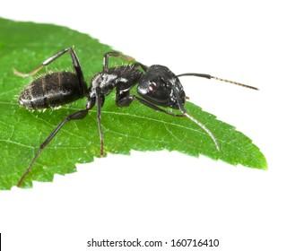 Macro of black ant sitting on leaf tip isolated on white
