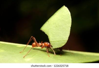 Macro of blade-or leaf cutter ants