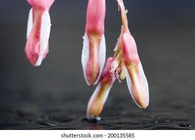 Macro Bleeding Heart flower close up in studio
