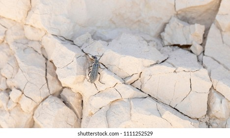 Macro of a Blister Beetle (Epicauta sp) Climbing on a Rock Wall on the Pawnee National Grasslands in Colorado