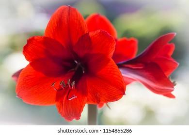 Macro of blooming Amaryllis