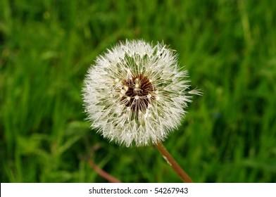 A macro of a blooming dandelion