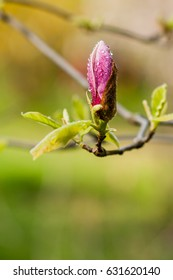 Macro blooming magnolia on a  branch close up