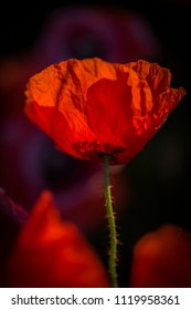 Macro of a blooming poppy, a symbol for the dead soldiers on the battle fields during the wars