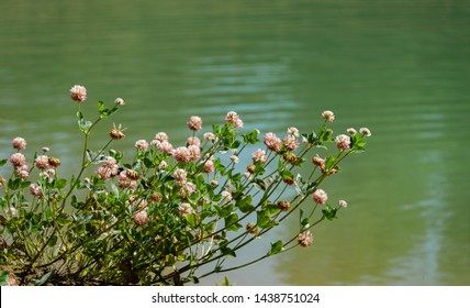 Macro blooming red clover flower or pink trefoil on emerald green water background. Nature concept for travel design. There is a place for your text