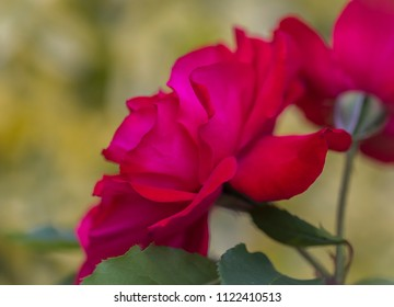 Macro of a blooming red rose, a symbol flower for love