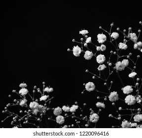 Macro blooming, soft lit monochrome  annual gypsophila (botanical: Gypsophila muralis) . Shot against a dark background with copy space.