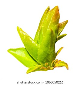 Macro of  blooming young foliage, ofleaf bud on green twig isolated on white. Spring branch
