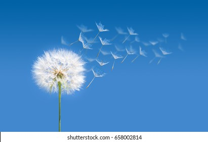 Macro Blow ball. Dandelion with multiply seeds on sky background