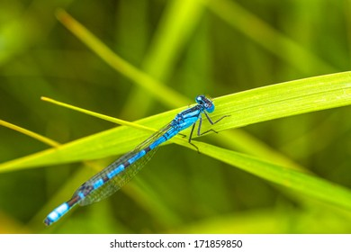 Macro of a blue damsel fly resting a a green blade of grass.