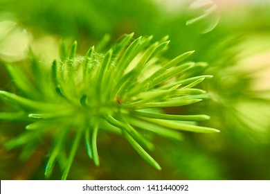 Macro of blue spruce twig, spruce buds. Young green sprouts fir tree twig needles. Fresh growing fir twig sprouts, spruce branch are on coniferous blurred background. Soft selective focus.