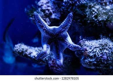 macro blue starfish linckia laevigata