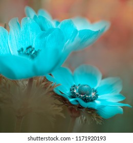 Macro of blue turquoise Flower - light blue Crown Anemone (Anemone coronaria) or Garden Anemone