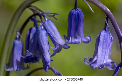 Macro of bluebells in spring, Malvern Hills, Worcestershire, UK