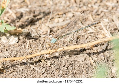 Macro of Blue-fronted Dancer (Argia apicalis) Perched on a Branch in Northern Colorado