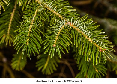 Macro of a branch of fir tree in a forest. FRANCE - Compiegne December 23rd, 2018