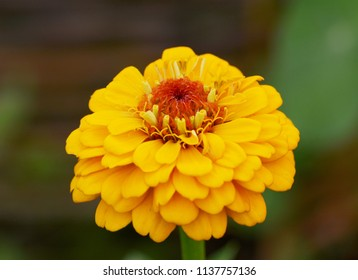 Macro of a bright yellow zinnia flower with layers of petals and a red centre