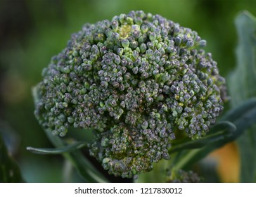 Macro of broccoli head