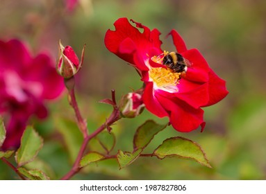 Macro of a bumble bee (bombus) on a red rose with blurred background; pesticide free environmental protection save the bees concept;
