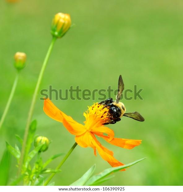 Macro Of Bumble Bee (Bombus terrestris) Collecting Pollen On Cosmos Flower (Cosmos sulphureus)
