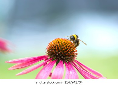 Macro of Bumble Bee on Magenta Echinacea Cone Flower collecting pollen
