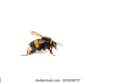 macro of a Bumblebee (Bombus) isolated on white