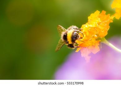 Macro of a bumblebee collecting nectar on a lantana camara flower
