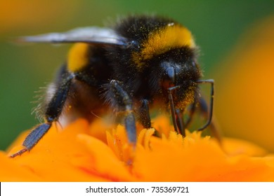 Macro of a bumblebee on an orange flower in a summer day