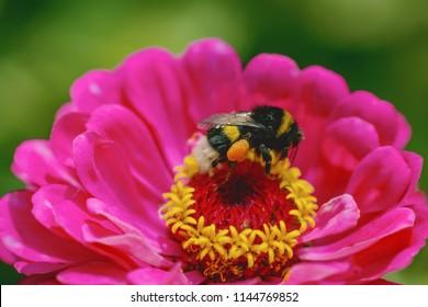 macro of a bumblebee. a bumblebee pollinates a pink flower. fluffy bumblebee in pollen. bumblebee closeup.