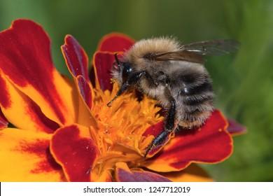 macro of a bumblebee. a bumblebee pollinates a pink flower. fluffy bumblebee in pollen. bumblebee closeup
