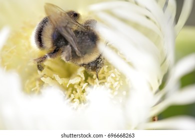 Macro of a bumblebee sucking pollen in a northern portuguese meadow in spring. Shallow DOF.