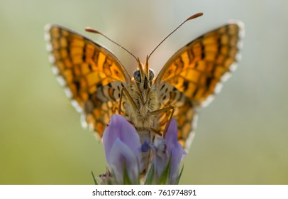macro Butterfly on Lavender with colors in orange and yellow, lavender in blue, blurred green background, butterfly looks directly to the photographer, butterfly wings are open, big butterfly eyes,