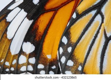 Macro Butterfly wing background,  Danaus chrysippus