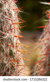 Macro of cactus spikes, selective focus on cactus