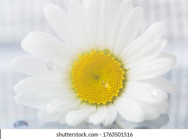 Macro camomile with a drop of water