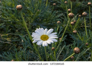 Macro camomille flower