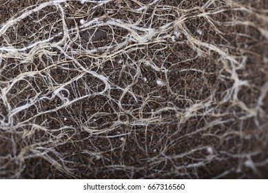 Macro of cannabis roots in soil for flowers