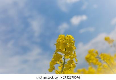 Macro of a canola flower from a field outside Malmo in Skane, Sweden