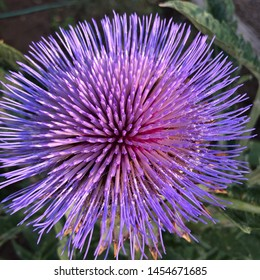 Macro of cardoon flower in garden
