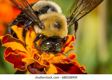 Macro of a Carpenter Bee (adult) pollinating a red & yellow flower.