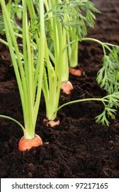 Macro carrots in garden very shallow DOF
