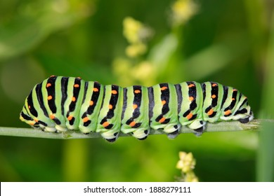 Macro of Caterpillar of Papilio Machaon swallowtail caterpillar feeding on Fennel branches. details in nature.