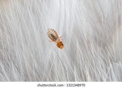 Macro of chewing louse - Strigiphilus cursitans